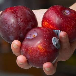 Delicious, in-season plums donated to Quest.